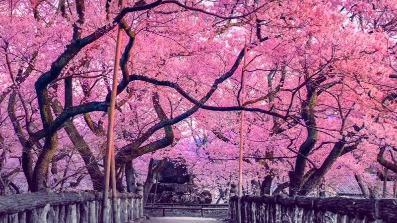 Anticipata per il riscaldamento globale la famosa fioritura dei ciliegi in Giappone